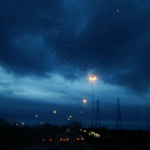 Starling flocks are so fascinating